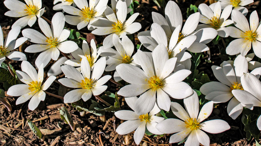 Blood root