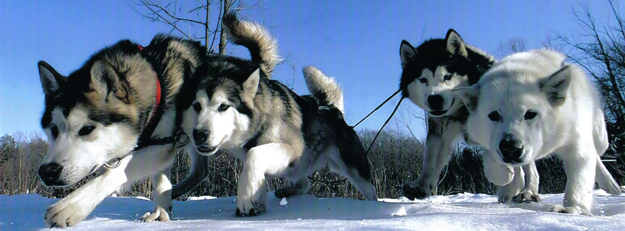 Winter Dog Sledding in New Jersey